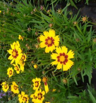 Nachyłek wielkokwiatowy SunKiss