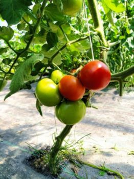 Pomidory malinowe ekologiczne