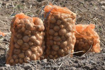 Ziemniaki - odm. Denar
